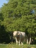 Una vaca pasturant a l'entorn de la casa