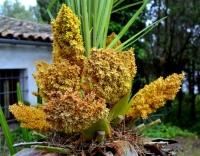 El margalló i la seva flor, es la palmera enana del Penedes Garraf.
