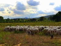 Ramat d'ovelles pasturant a la Bleda.