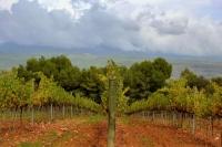 Vinyes de Can Grau.