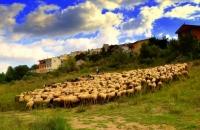 Remat d'ovelles al peu del castell.