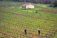 Podant les vinyes a la Bleda.