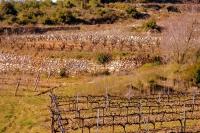 Vinyes i marges de pedra Seca, el Pago.